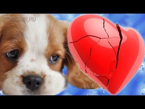 Сердечная недостаточность у собак   Лечение.
