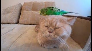 Смешной попугай пристает к коту. Приколы с животными.
