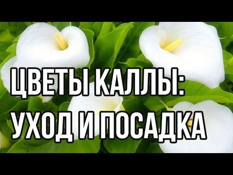 Цветы Каллы: посадка и уход