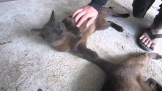 preview picture of video '37 BURMESE CATS OF INLE LAKE, BURMA MYANMAR'