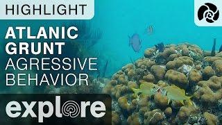 Atlantic Grunt Agressive / Sexual Behavior - Cayman Reef Live Cam Highlight