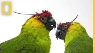 Why Are Parrot Species in Decline?   National Geographic thumbnail