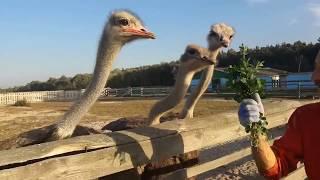 Подарок папы - поездка на страусиную ферму