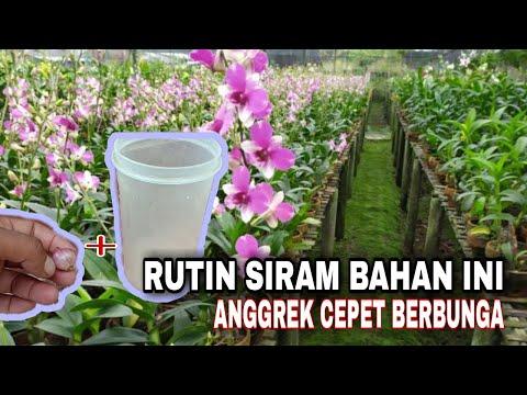 PINGIN BUNGA ANGGREK KAMU CEPET BERBUNGA || RUTIN SIRAM CAMPURAN INI.!!