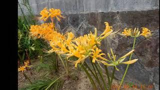 黄色の彼岸花?ヒガンバナ