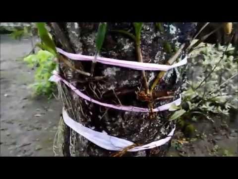 Video Cara Menanam Anggrek Langsung di Pohon Yang Hidup