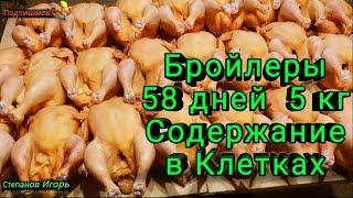 Бройлеры 58 дней 5 кг Содержание в Клетках Утеплил Потолок