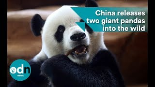 China Releases Two Giant Pandas Into The Wild