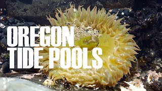 Tidepooling on the Oregon Coast - sea stars, anemones, whales, seals, murres and more!