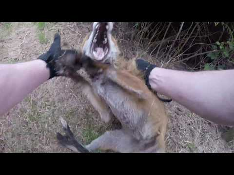 Howth Dog Attack FOX