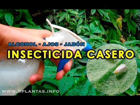 INSECTICIDA CASERO a base de ajos, elimina mosca blanca, pulgones, hormigas...