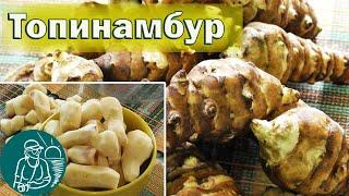 🍅 Топинамбур (земляная груша) - полезные свойства