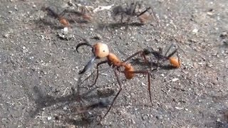 Don't mess with the army ants