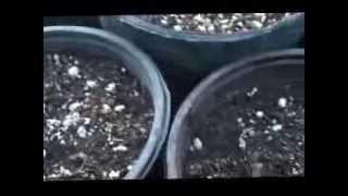 EUPHORBIAS  CORONAS DE CRISTO PLANTACIÓN VÍDEO  1