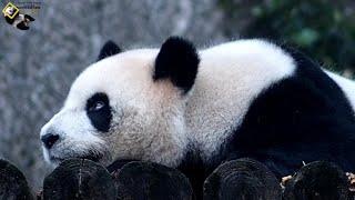 20200329 圓仔想夜宿露營,被彪拔識破 The Giant Panda Yuan Zai