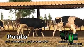 Bovino Leite Holandês Reprodutor Andrológico em dia - e-rural Imagens