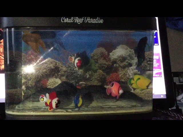 Betta fish fight for their lives in fish tank, hihih.