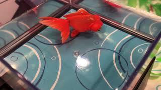 東京おもちゃショー:タカラトミーアーツ「ひかりとみずのカラクリ金魚」