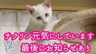 子猫がうちにやって来た 保護した子猫のお預かりボランティア「チクリン」のその後