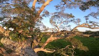 FPV inside a tree - FPV dentro do Ipe