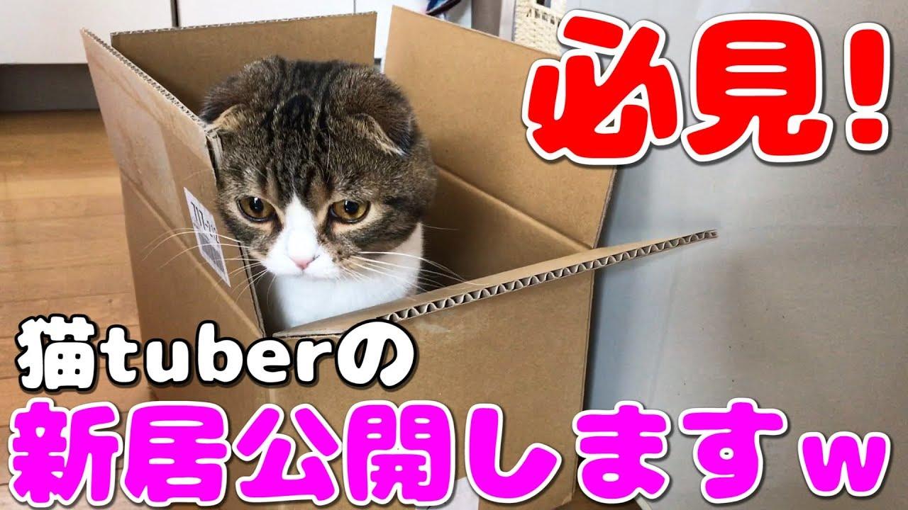 猫tuberの新居公開します!【スコティッシュフォールド】【Scottish Fold】