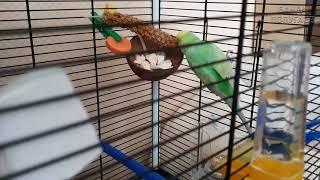 ☕ Мой попугайчик линяет    Нянчю Ричика