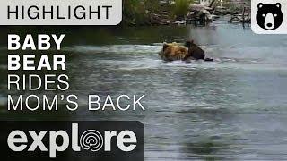 Baby Bear Backpack - Katmai National Park - Live Cam Highlight
