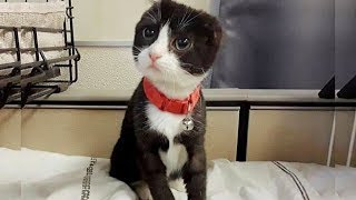 This Little Kitten's Ears Had Been Cut Off, So A Volunteer Fashioned Her In Adorable Replacements