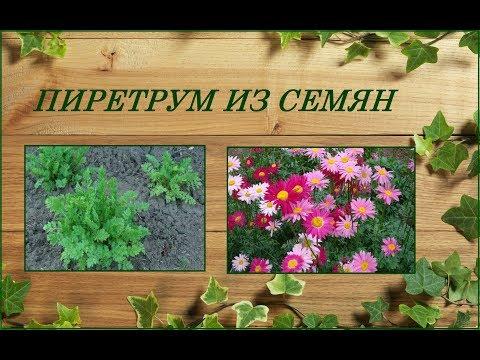 Пиретрум из семян - яркий неприхотливый многолетник любителям ромашек