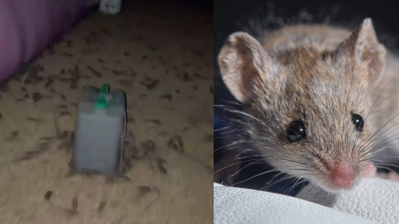 Миллионы мышей атаковали Австралию