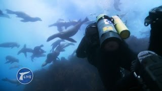 360 degree dive with Steve Backshall being mobbed by sea lions - Big Blue Live: Exclusive - BBC One