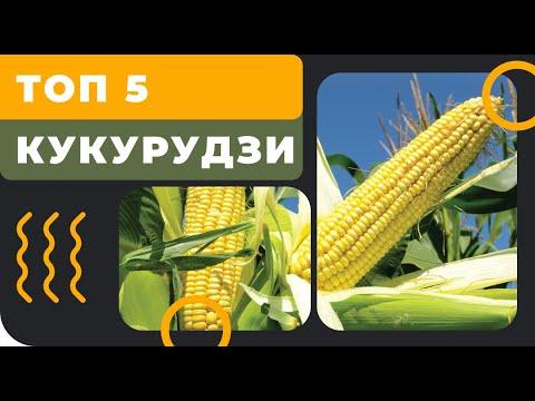 ТОП 5 кукурузы с ФАО 280-330
