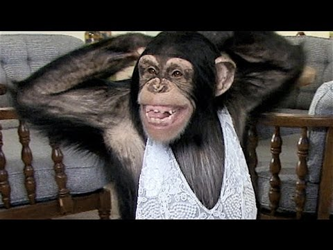 funny chimp learns to sexy..