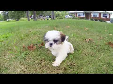 Marilyn the Shichon puppy of your dreams