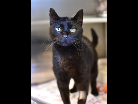 Woods, an adopted Domestic Short Hair in Baldwin, MD_image-1