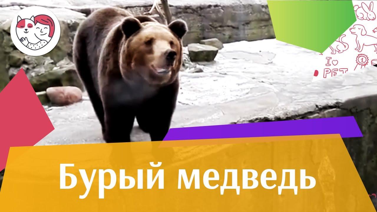 Бурый медведь Осторожно хищник на ilikepet