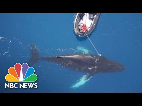 Scientists Mount Cameras To Whales To Learn About Antarctic Voyages | NBC News