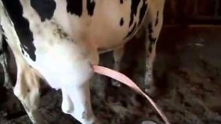 INCREDIBLE RIVER OF PUS coming from a COW ABSCESS