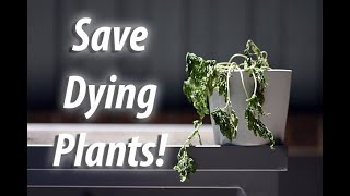 How To Save And Revive A Dying Plant (2019)