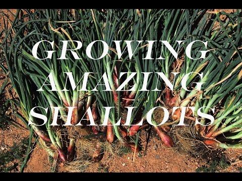 , title : 'Shallots - Growing and Harvesting Huge Bulbs