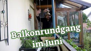 Gysis Balkon im Juni - viel Ernte auf kleinen Raum - Tomaten retten