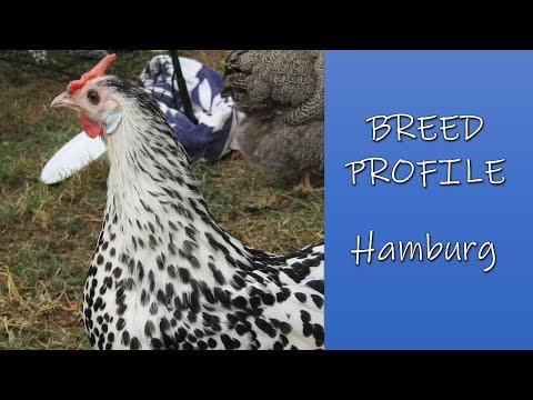 , title : 'Breed Profile - Hamburg