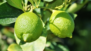 اغاني حصرية شجره ليمون |عزيق_تسميد_معلومات مهمه عن المعاملات الزراعيه لها Fertilize lemon tree تحميل MP3