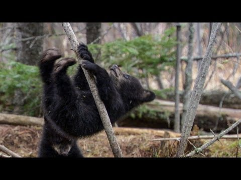 Black Bear Cubs Learning to Climb Trees