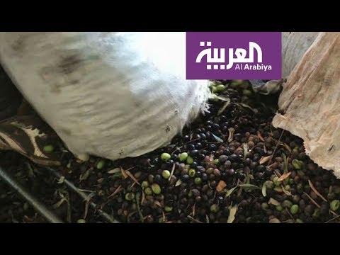 العرب اليوم - شاهد: 10 ملايين شجرة زيتون في الأردن
