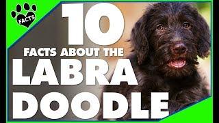 Labradoodle Dogs 101 - Labrador Retriever Poodle Mix