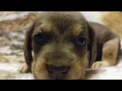 Cadet blue silver beagle boy