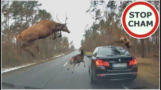 Stado jeleni przeskakuje nad BMW #574 Wasze Filmy
