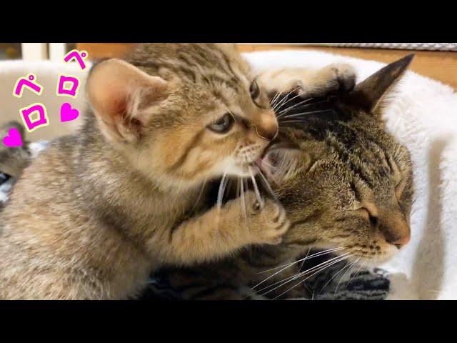 子猫に突然優しくされ固まる猫 それを見守る柴犬 A cat that is happy to be kind to a kitten #子猫 #cat #kitten