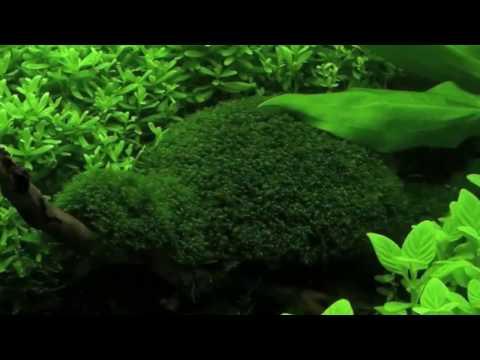 Video 1 menit dengan moss fissiden